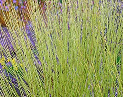 Cornus sericea 'Flaviramea' (golden twig dogwood)