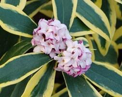 Daphne odora Marianni  ('Rogbret') (PBR) (daphne)