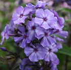 Phlox paniculata Blue Evening