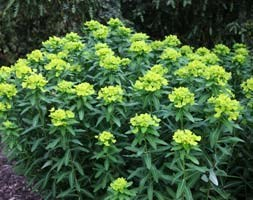 Euphorbia cornigera 'Goldener Turm' (spurge)