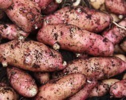 potato 'Pink Fir Apple' (potato - maincrop, Scottish basic seed potato)