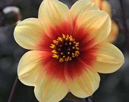 Dahlia 'Sunshine' (dahlia tuber)