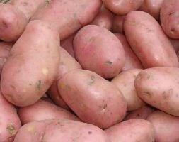 potato 'Sarpo Mira' (PBR) (potato - maincrop)