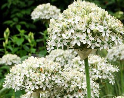 Allium nigrum (ornamental onion bulbs)