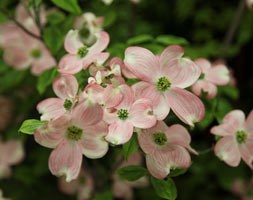 Cornus florida 'Sunset' (flowering dogwood)