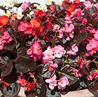 Begonia Devil's Delight F1 Mixed