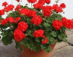Geranium 'Bright Red' (40 plus 20 FREE large plug plants)
