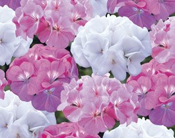Geranium 'Candyfloss Mixed' (40 plus 20 FREE large plug plants)