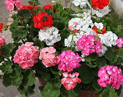 Geranium 'Showstopper Mixed' (40 plus 20 FREE large plug plants)
