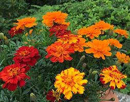 Marigold 'French Fancy' (40 plus 20 FREE large plug plants)