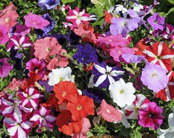 Petunia 'Fantasia Mixed' (40 plus 20 FREE large plug plants)