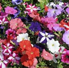 Petunia Fantasia Mixed