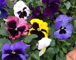 Pansy Matrix F1 Autumn Select Mixed (40 plus 20 FREE large plug plants)