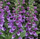 Digitalis purpurea Dalmatian Purple