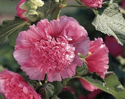 Alcea rosea Chater's Double Group rose pink-flowered (hollyhock)