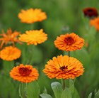 Calendula officinalis Indian Prince (Prince Series)