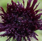 Papaver somniferum Blackcurrant Fizz