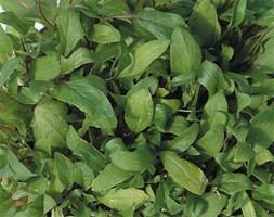 spinach 'Reddy' F1 (spinach)