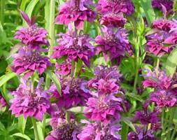 Monarda hybrida 'Bergamo' (bee balm)
