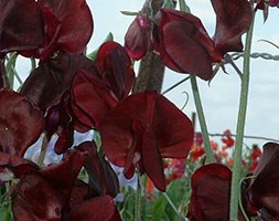 Lathyrus odoratus 'Midnight' (spencer sweet pea seed Midnight)