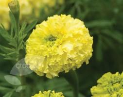Marigold 'Key Lime' (marigold Key Lime)