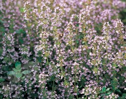 Thyme (thyme - organic seeds)
