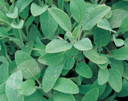 Sage (sage - organic seeds)