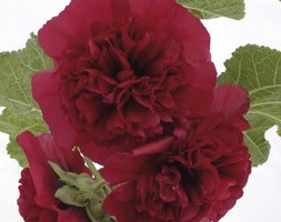 Alcea rosea Chater's Double Group maroon-flowered (hollyhock)
