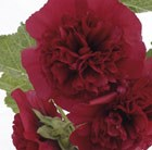 Alcea rosea Chater's Double Group maroon-flowered