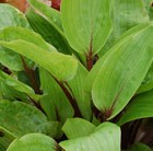 Hosta Purple Heart (PBR)