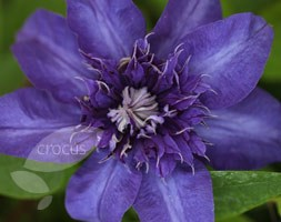 Clematis 'Shikoo' (clematis (group 2))