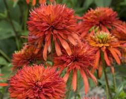 Echinacea 'Summer Salsa' (coneflower)