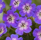 Geranium Rise and Shine