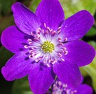 Hepatica 'Forest Purple' (Forest Series)