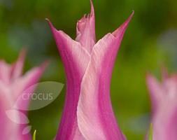 Tulipa 'Yonina' (lily flowered tulip bulbs)
