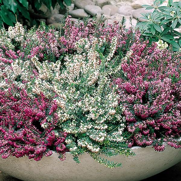 Winter Blooming Heather Viagra