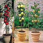mini fruit trees