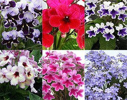 Streptocarpus Collection (cape primrose collection)