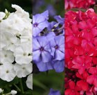 Red, white and blue phlox Collection