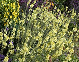 Verbascum (Cotswold Group) 'Gainsborough' (mullein)