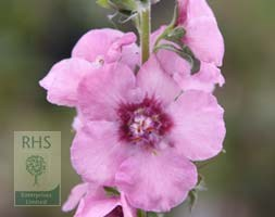 Verbascum (Cotswold Group) 'Pink Domino' (mullein)