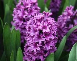 Hyacinthus orientalis 'Miss Saigon' (garden hyacinth bulbs)
