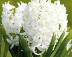 Hyacinthus orientalis 'White Pearl' ('prepared' hyacinth bulbs)