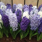 Hyacinth cool shades collection