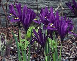 Iris 'Pauline' (Reticulata) (iris bulbs)
