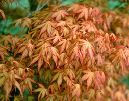 Acer palmatum 'Katsura' (Japanese maple)