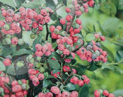 Vaccinium 'Pink Lemonade' (blueberry)