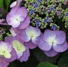 Hydrangea macrophylla (Flair&Flavours) Blueberry Cheesecake ('MAK20')