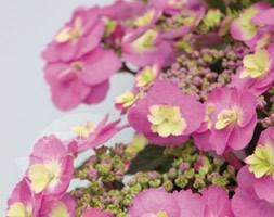 Hydrangea macrophylla (Flair&Flavours) Cotton Candy ('MAK20') (hydrangea)