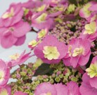 Hydrangea macrophylla (Flair&Flavours) Cotton Candy ('MAK20')